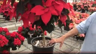 Poinsettia care tips - how to keep your poinsettia looking good this year and next