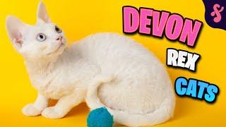 Top 10 Facts about Devon Rex Cat   Furry Feline Facts