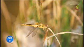 狮城有约 | 生态平衡:捕虫高手蜻蜓和动物保育