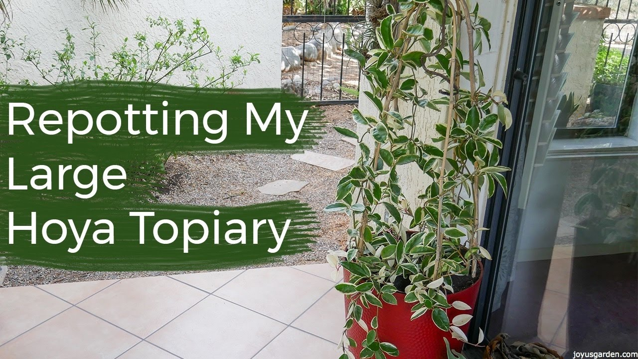 Repotting My Large Hoya Topiary Joy Us Garden Youtube