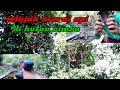 Mikat Murai Api Di Hutan Rimba  Mp3 - Mp4 Download