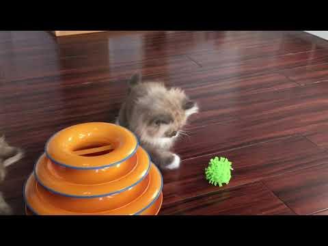 RagaMuffin Kittens- Shoot em up Gang 10.5wks- Imperial Rags