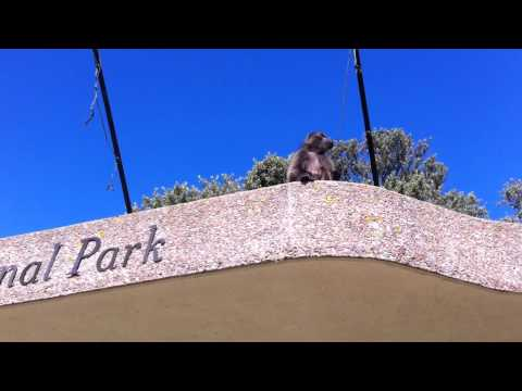 Baboon at Table Mountain National Park - South Africa