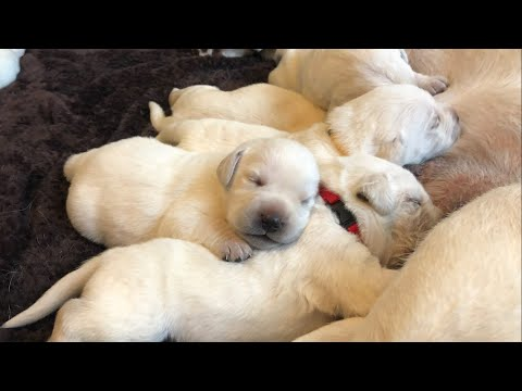 Eye Opening Lab puppies Morning live stream replay!
