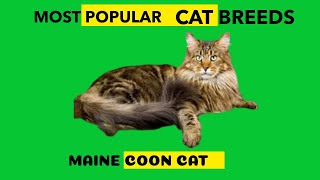 MAINE COON CAT MOST POPULAR CAT BREED