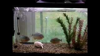 Piranhas Destroy RAT!