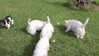Westies Akc Dogs In Yard