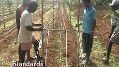 Gloriosa Superba Horticulture Medicinal Seeds