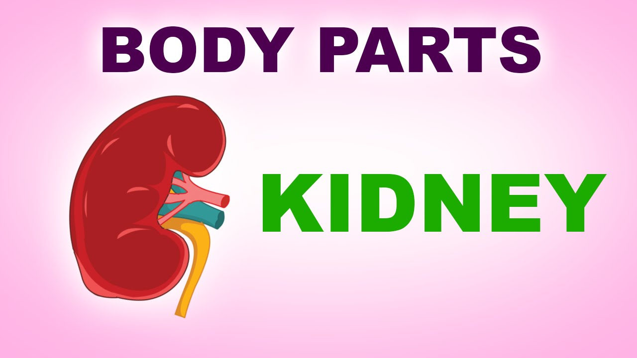 Kidney human body parts pre school know your body animated kidney human body parts pre school know your body animated videos for kids youtube ccuart Images