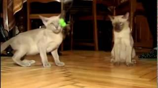 Бурманская кошка:происхождение