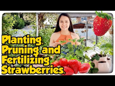 How to Plant Strawberry, Pruning, Fertilizing Manila London Beginner Guide Cultivating Strawberries