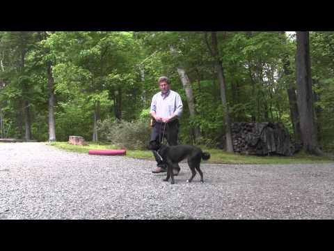 Penny | Australian Kelpie Dog Training | Winston Salem NC