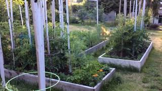Мои томаты ( помидоры) заболели Фитофторой / Показываю, как я их ЛЕЧУ / Первый этап лечения