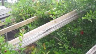 Мариуполь.Восточная хурма,гранат,инжир.20 мая. Второе видео.