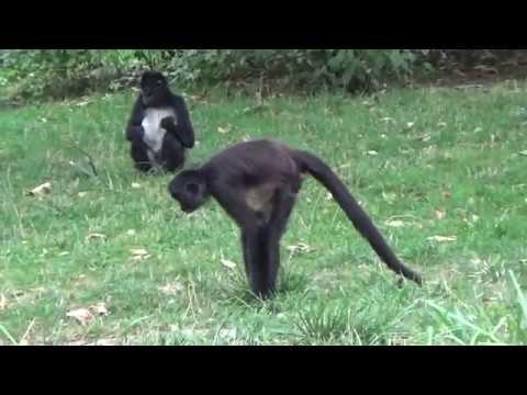 Mexican Spider Monkey (Ateles geoffroyi vellerosus) קוף עכביש מקסיקני