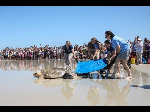Marine Science Center releases Maxwell the sea turtle on Turtle Day