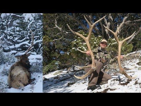 It Happened! Big 6x6 Bull Elk Sheds Antler on camera! By Tines Up