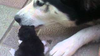 Husky protects a kitten from its own mother