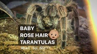 caring-for-baby-rose-hair-tarantulas-a-few-tips-welcome-to-the-tarantula-hobby-guys
