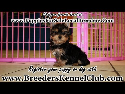 YORKSHIRE TERRIER PUPPIES FOR SALE GEORGIA LOCAL BREEDERS