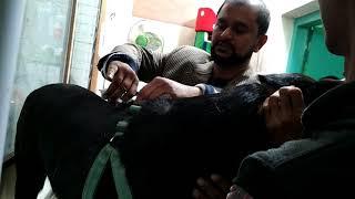 Vet in Dhaka City Pet Doctor in Bangladesh @ Dr. Sagir's Pet Clinic 01912251312 thumbnail