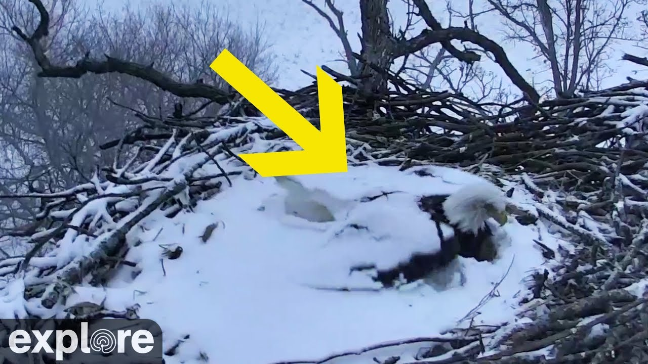 Bald Eagle Covered In Snow  Ice In Nest - Youtube-4698