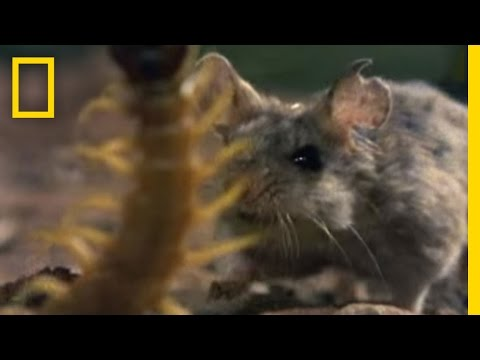 Centipede vs. Grasshopper Mouse | National Geographic