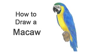 How to Draw a Macaw (Blue-And-Yellow)