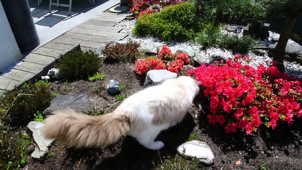 Ragdoll Cat Acts Like A Dog
