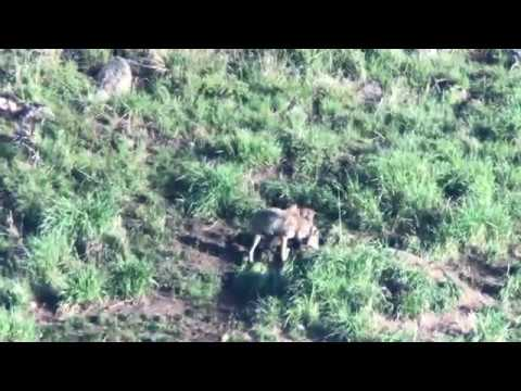 Yellowstone wolf den with pups