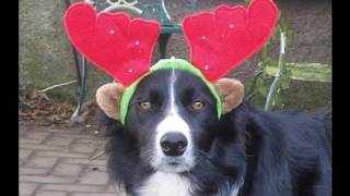 Crazy Border Collie Christmas!!!