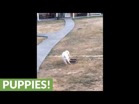 Great Pyrenees puppy discovers water, goes absolutely nuts