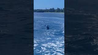 괌 돌핀크루즈 투어 - 미끈한 돌고래 출현 ^^