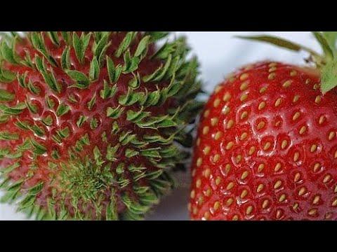 Si Te Gustan Las FRESAS Tienes Que Verlo! Como Germinar Fresas (Frutillas) | Sembrar Fresas