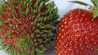 Como Germinar Fresas | Strawberries