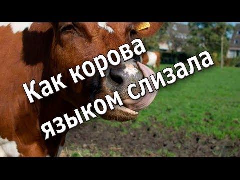 Как корова языком слизала значение