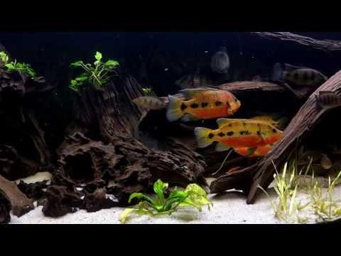 Peaceful five spot jewel cichlid fish tank