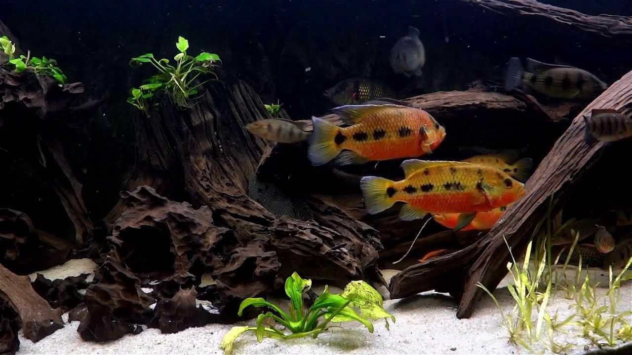 Freshwater jewel fish - Peaceful Five Spot Jewel Cichlid Fish Tank