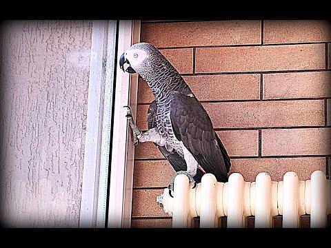 РЖАЧНЫЙ ПОПУГАЙ ЖАКО😂Funny Parrot
