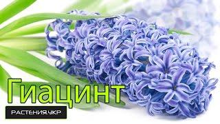 Гиацинт уход после цветения в домашних условиях / цветок гиацинт