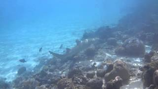 Negaprion acutidens. Мадагаскарская острозубая акула. Мальдивы 2013(, 2014-01-18T20:31:42.000Z)