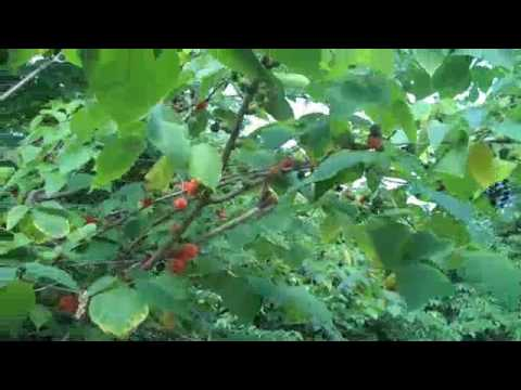 Eat The Weeds: Episode 119: The Paper Mulberry