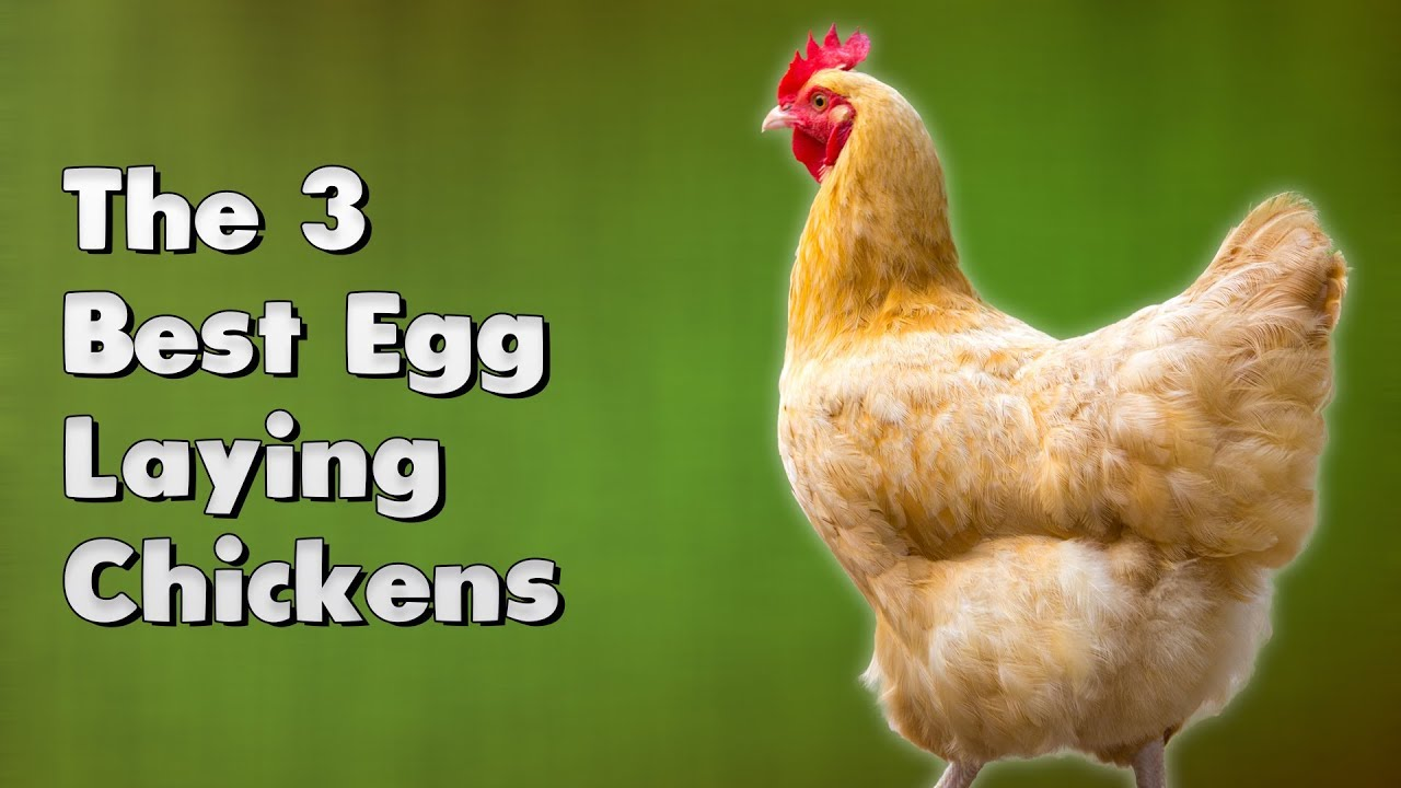 The 3 Best Egg Laying Ens You