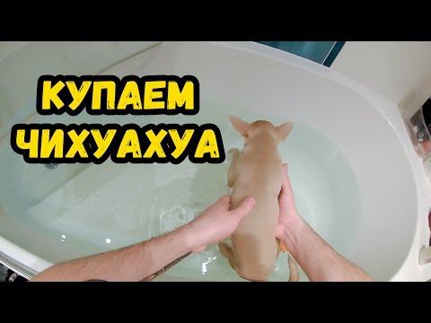 Как правильно купать чихуахуа