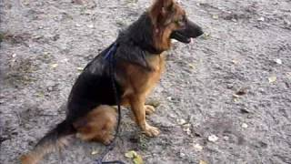 Hera Jade Berger Allemand  Couleur Feu (german Shepherd) Rapport D Objet
