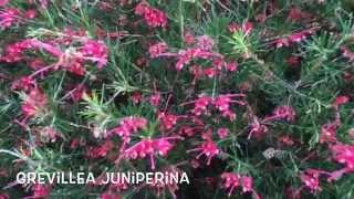 Grevillea juniperina. Garden Center online Costa Brava - Girona.(Grevillea juniperina. Garden Center online Costa Brava - Girona. Web: http://personalgardenshopper.es/, 2015-04-02T20:39:18.000Z)