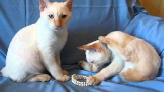 Котик Ючи Кин породы меконгский бобтейл