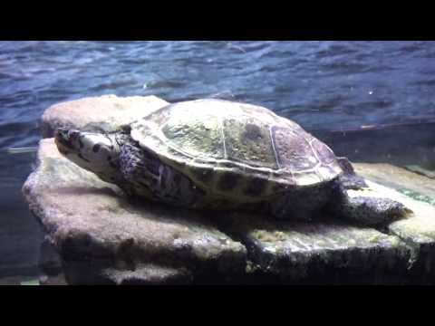 """Amazing Exotic Turtles..By """"CHRIS THE HOBBY GUY"""""""