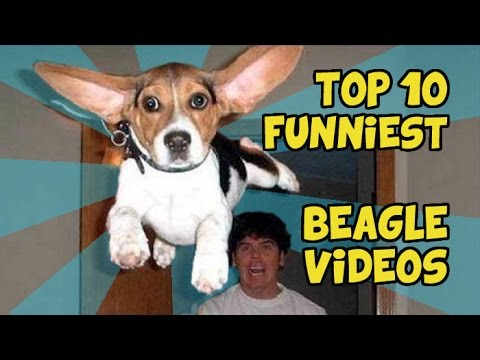 TOP 10 FUNNIEST BEAGLE VIDEOS