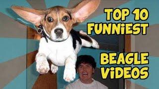 Top 10 Funniest Beagle Videos